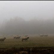 BDV moutons